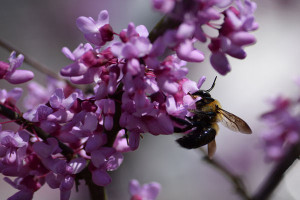 Bee on Redbud Flowers