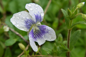 Violet after the rain